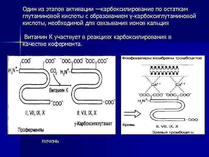 Один из этапов активации —карбоксилирование по остаткам глутаминовой кислоты с образованием γ-карбоксиглутаминовой кислоты, необходимой