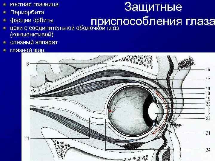 Картинки орбиты глаза