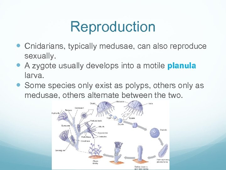 Reproduction Cnidarians, typically medusae, can also reproduce sexually. A zygote usually develops into a