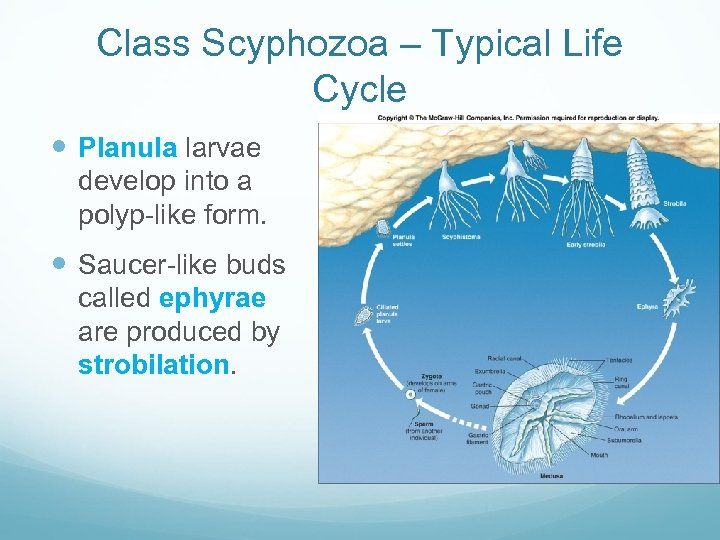 Class Scyphozoa – Typical Life Cycle Planula larvae develop into a polyp-like form. Saucer-like