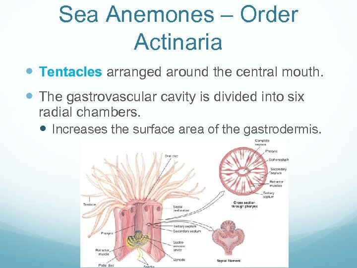Sea Anemones – Order Actinaria Tentacles arranged around the central mouth. The gastrovascular cavity