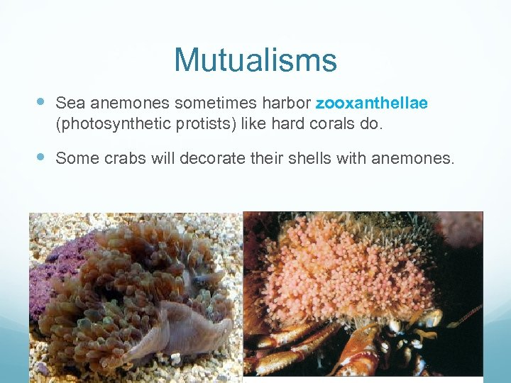 Mutualisms Sea anemones sometimes harbor zooxanthellae (photosynthetic protists) like hard corals do. Some crabs