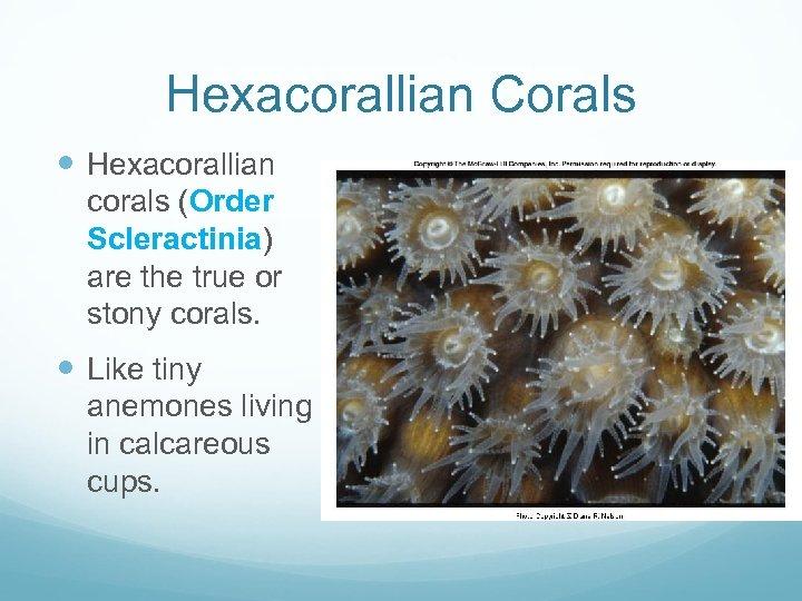 Hexacorallian Corals Hexacorallian corals (Order Scleractinia) are the true or stony corals. Like tiny