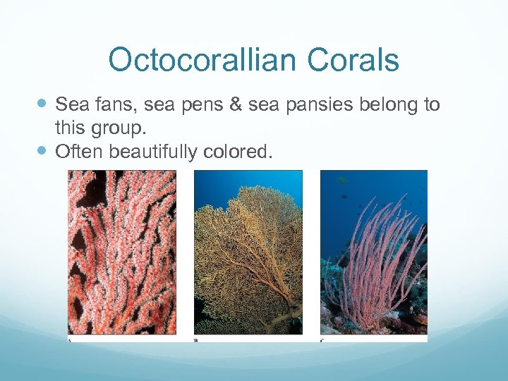 Octocorallian Corals Sea fans, sea pens & sea pansies belong to this group. Often