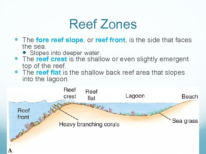 Reef Zones The fore reef slope, or reef front, is the side that faces