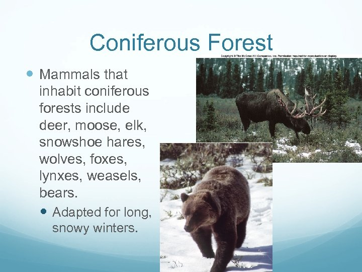 Coniferous Forest Mammals that inhabit coniferous forests include deer, moose, elk, snowshoe hares, wolves,