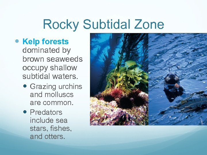 Rocky Subtidal Zone Kelp forests dominated by brown seaweeds occupy shallow subtidal waters. Grazing