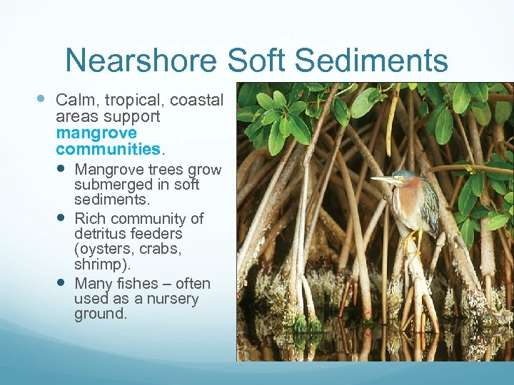 Nearshore Soft Sediments Calm, tropical, coastal areas support mangrove communities. Mangrove trees grow submerged
