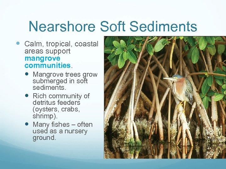 Nearshore Soft Sediments Calm, tropical, coastal areas support mangrove communities. Mangrove trees grow submerged