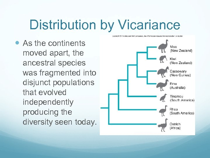 Distribution by Vicariance As the continents moved apart, the ancestral species was fragmented into