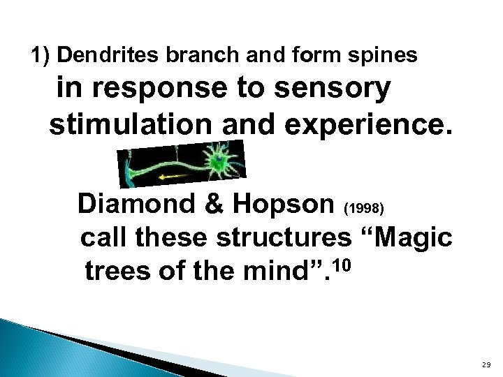 1) Dendrites branch and form spines in response to sensory stimulation and experience. Diamond