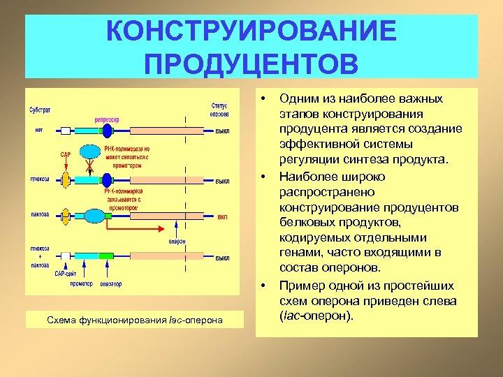 КОНСТРУИРОВАНИЕ ПРОДУЦЕНТОВ • • • Схема функционирования lac-оперона Одним из наиболее важных этапов конструирования