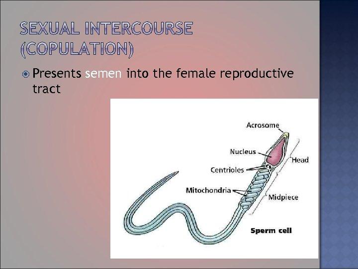 Presents tract semen into the female reproductive