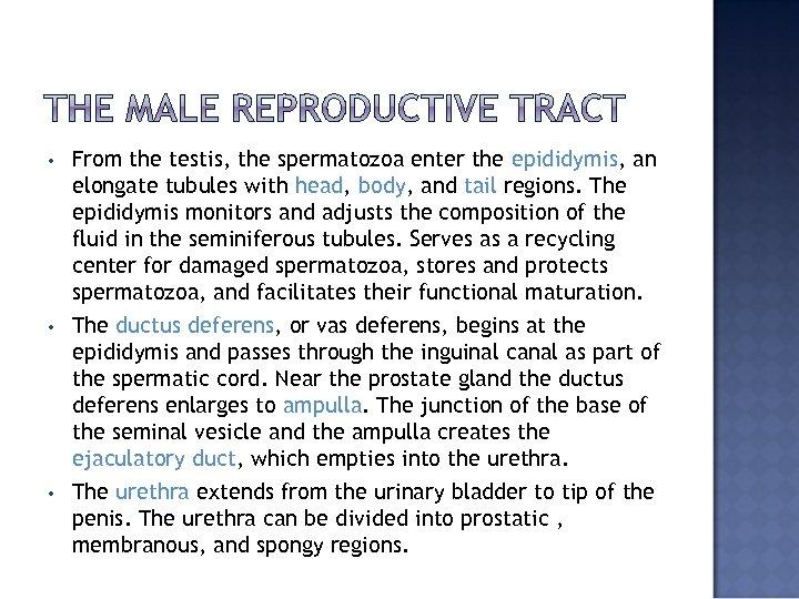 • • • From the testis, the spermatozoa enter the epididymis, an elongate