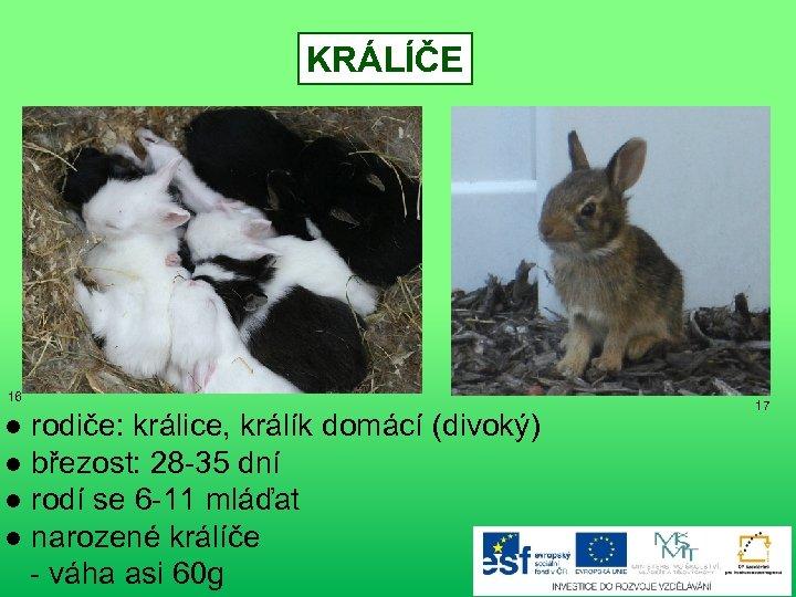 KRÁLÍČE 16 ● rodiče: králice, králík domácí (divoký) ● březost: 28 -35 dní ●