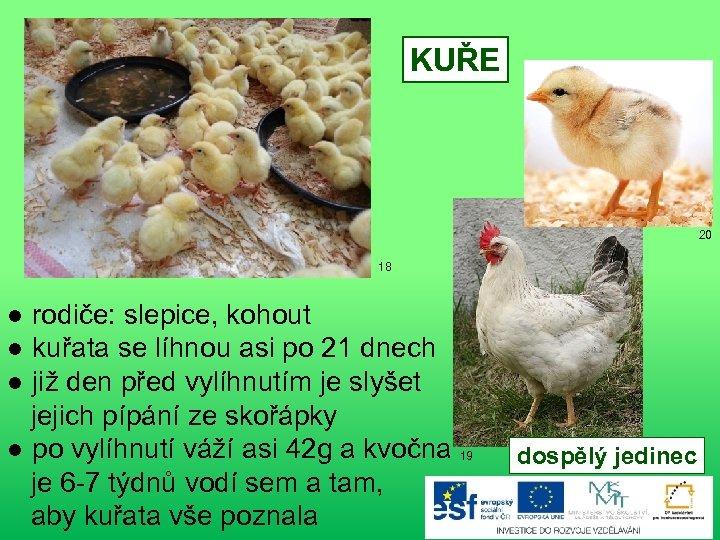 KUŘE 20 18 ● rodiče: slepice, kohout ● kuřata se líhnou asi po 21
