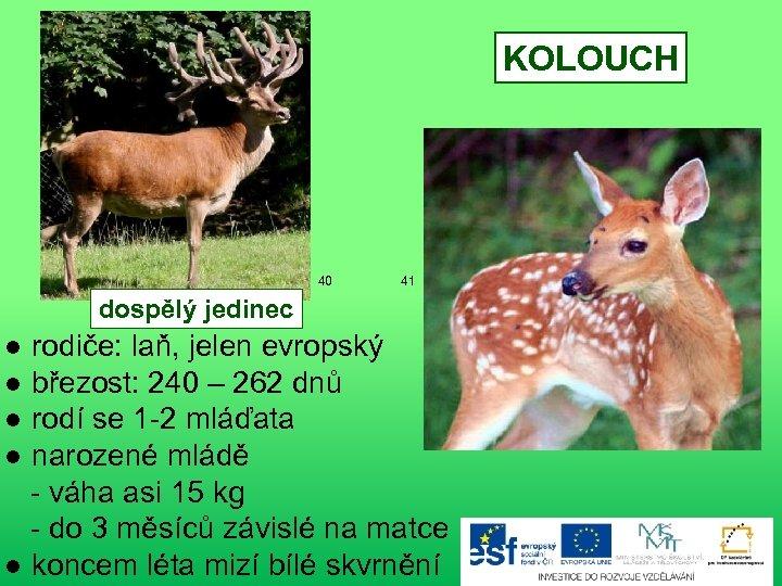 KOLOUCH 40 41 dospělý jedinec ● rodiče: laň, jelen evropský ● březost: 240 –