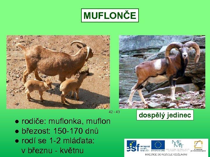 MUFLONČE 42 - 43 ● rodiče: muflonka, muflon ● březost: 150 -170 dnů ●
