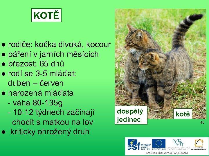 KOTĚ ● rodiče: kočka divoká, kocour ● páření v jarních měsících ● březost: 65