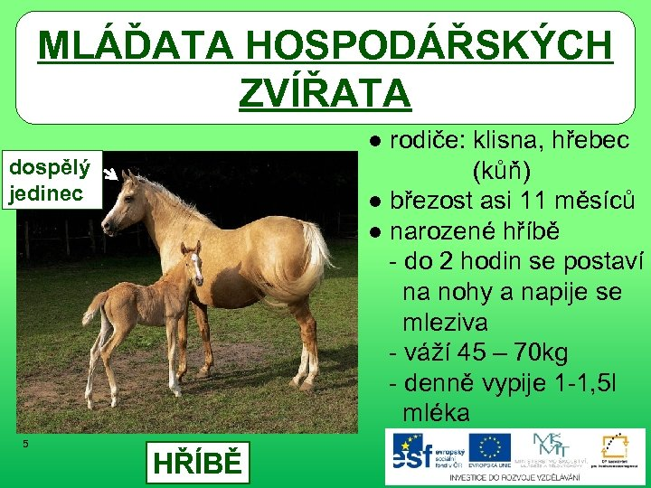 MLÁĎATA HOSPODÁŘSKÝCH ZVÍŘATA ● rodiče: klisna, hřebec (kůň) ● březost asi 11 měsíců ●