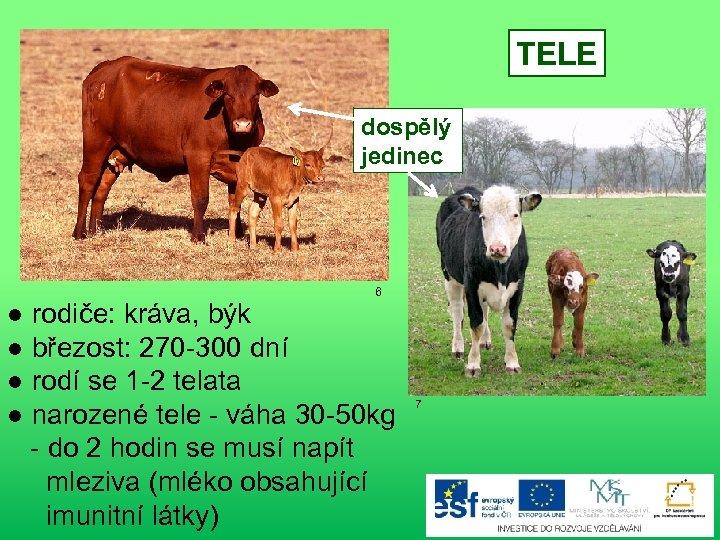TELE dospělý jedinec 6 ● rodiče: kráva, býk ● březost: 270 -300 dní ●