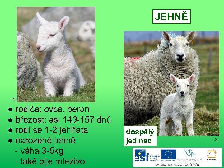 JEHNĚ 12 ● rodiče: ovce, beran ● březost: asi 143 -157 dnů ● rodí