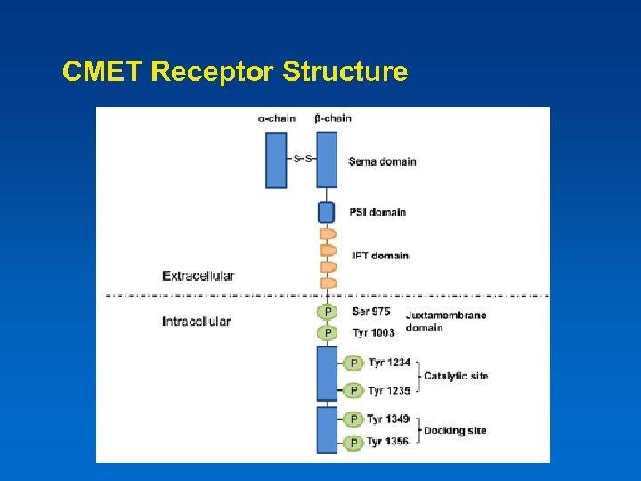 CMET Receptor Structure