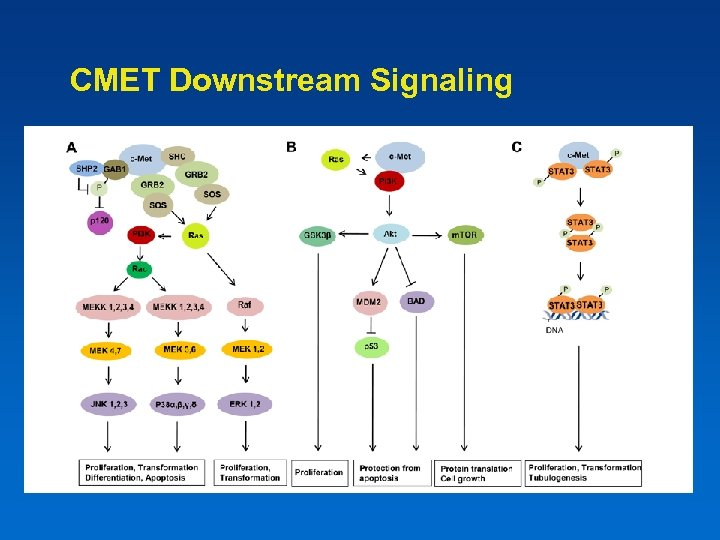 CMET Downstream Signaling
