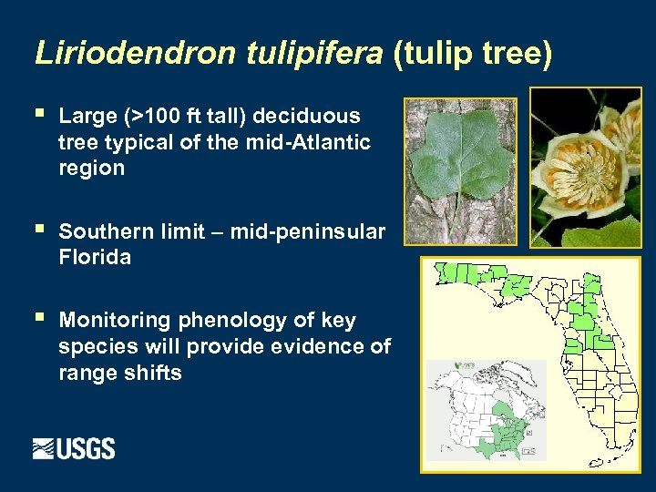 Liriodendron tulipifera (tulip tree) § Large (>100 ft tall) deciduous tree typical of the
