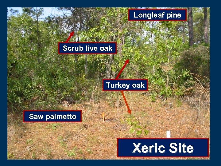 Longleaf pine Scrub live oak Turkey oak Saw palmetto Xeric Site