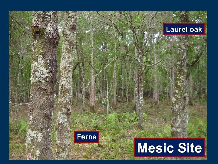Laurel oak Ferns Mesic Site