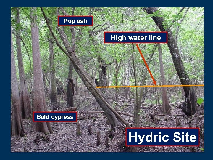 Pop ash High water line Bald cypress Hydric Site