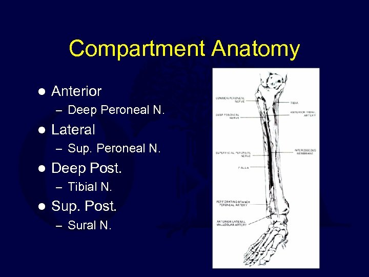 Compartment Anatomy l Anterior – Deep Peroneal N. l Lateral – Sup. Peroneal N.