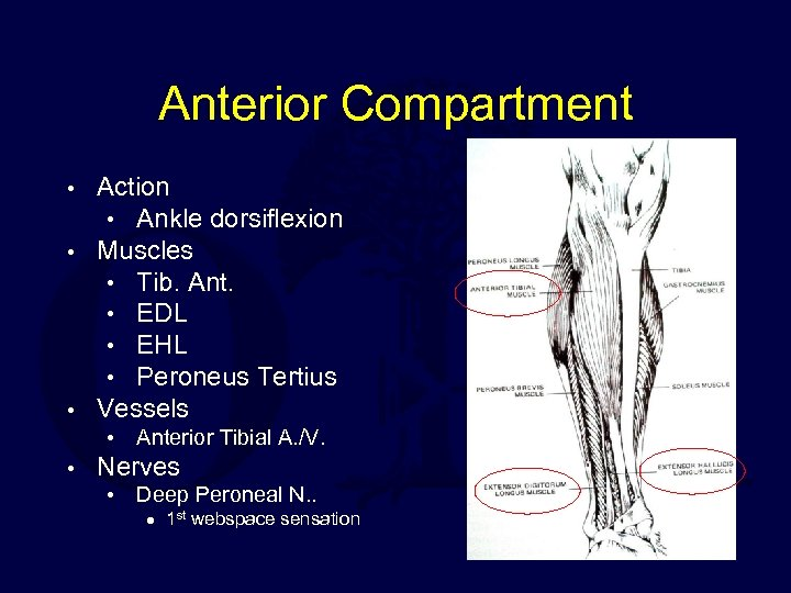 Anterior Compartment Action • Ankle dorsiflexion • Muscles • Tib. Ant. • EDL •