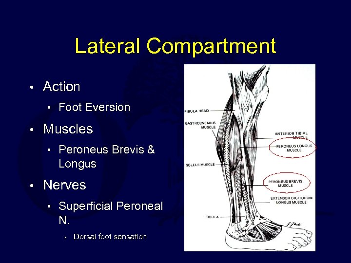 Lateral Compartment • Action • Foot Eversion • Muscles • Peroneus Brevis & Longus