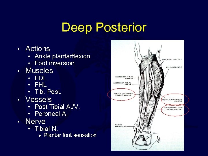 Deep Posterior • Actions • Muscles • Vessels • Nerve • Ankle plantarflexion •