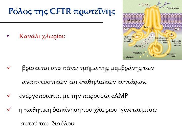 Ρόλος της CFTR πρωτεΐνης • ü Κανάλι χλωρίου βρίσκεται στο πάνω τμήμα της μεμβράνης