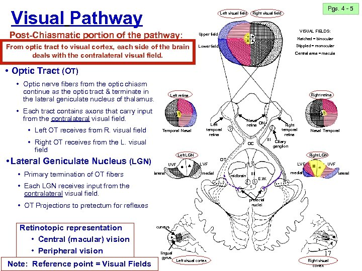 Visual Pathway Left visual field Post-Chiasmatic portion of the pathway: From optic tract to