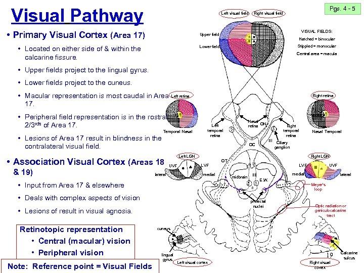 Visual Pathway Left visual field • Primary Visual Cortex (Area 17) Pgs. 4 -