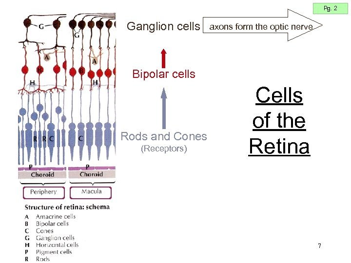 Pg. 2 Ganglion cells axons form the optic nerve Bipolar cells Rods and Cones