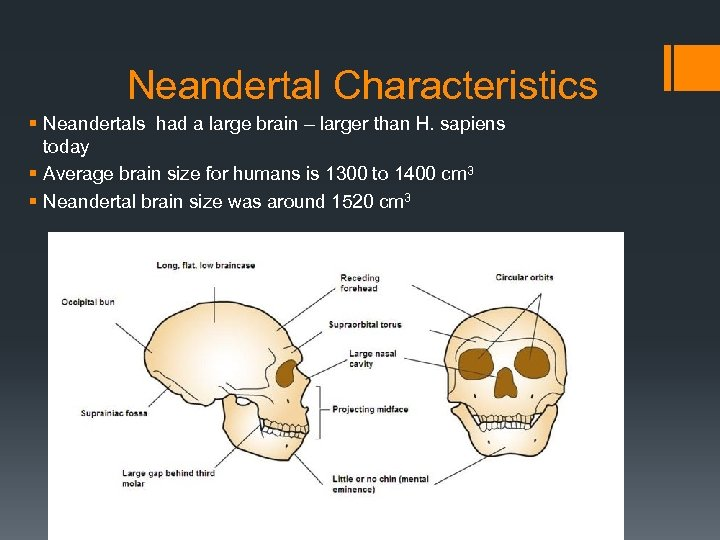 Neandertal Characteristics § Neandertals had a large brain – larger than H. sapiens today