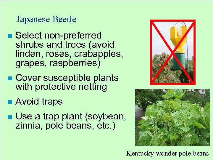 Japanese Beetle n Select non preferred shrubs and trees (avoid linden, roses, crabapples, grapes,