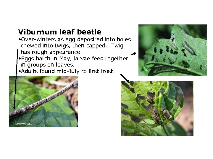 Viburnum leaf beetle • Over-winters as egg deposited into holes chewed into twigs, then