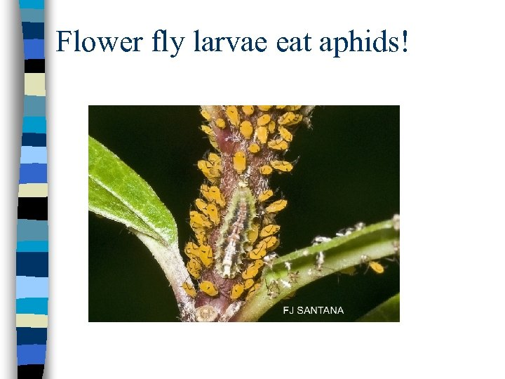 Flower fly larvae eat aphids!