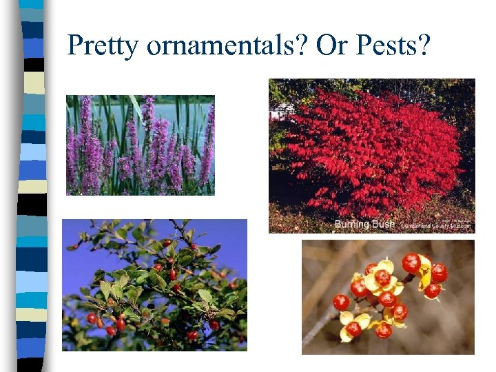 Pretty ornamentals? Or Pests?