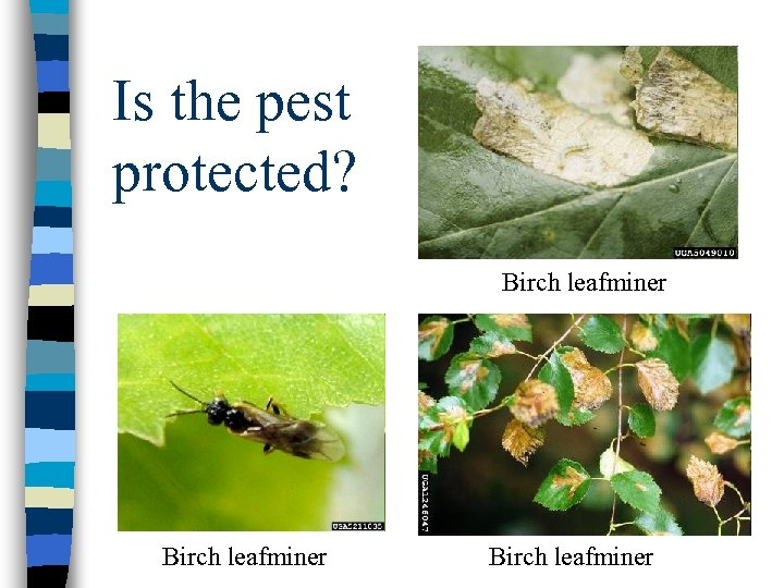 Is the pest protected? Birch leafminer