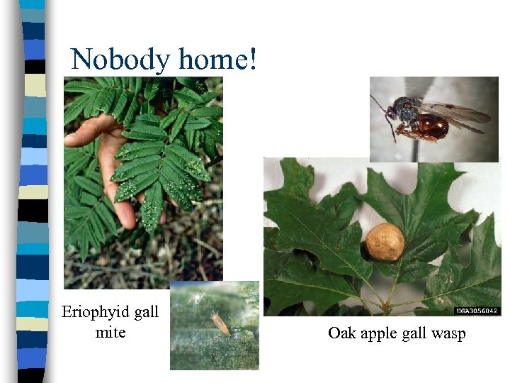 Nobody home! Eriophyid gall mite Oak apple gall wasp