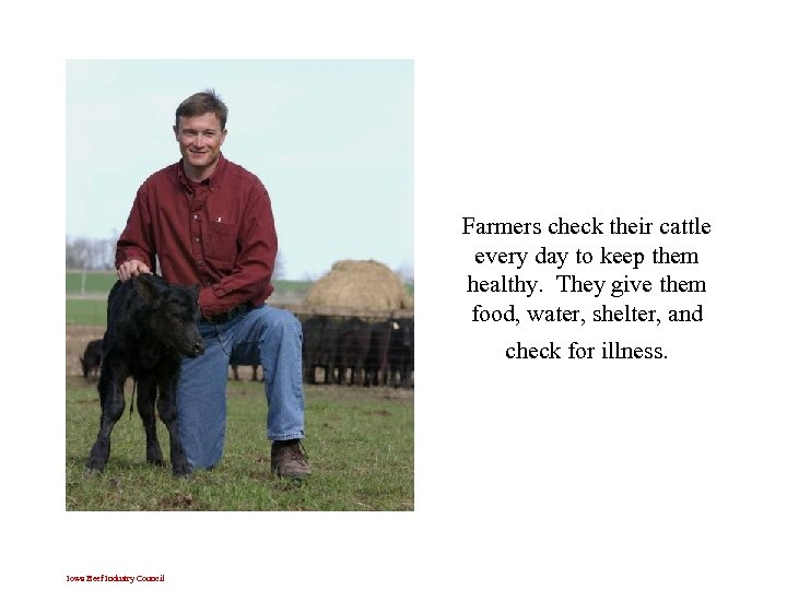 Farmers check their cattle every day to keep them healthy. They give them food,