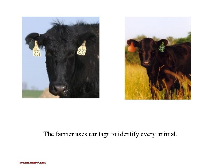 The farmer uses ear tags to identify every animal. Iowa Beef Industry Council