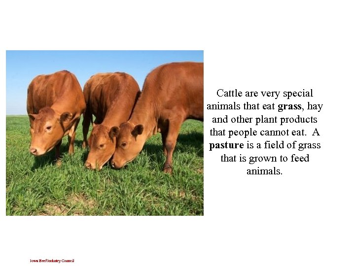 Cattle are very special animals that eat grass, hay and other plant products that